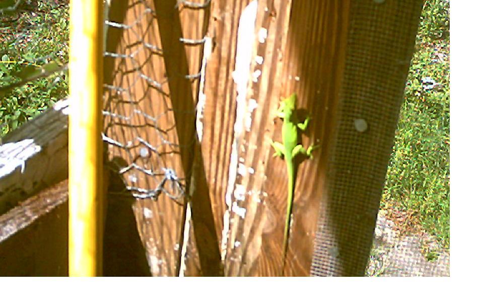 green-lizard.jpg